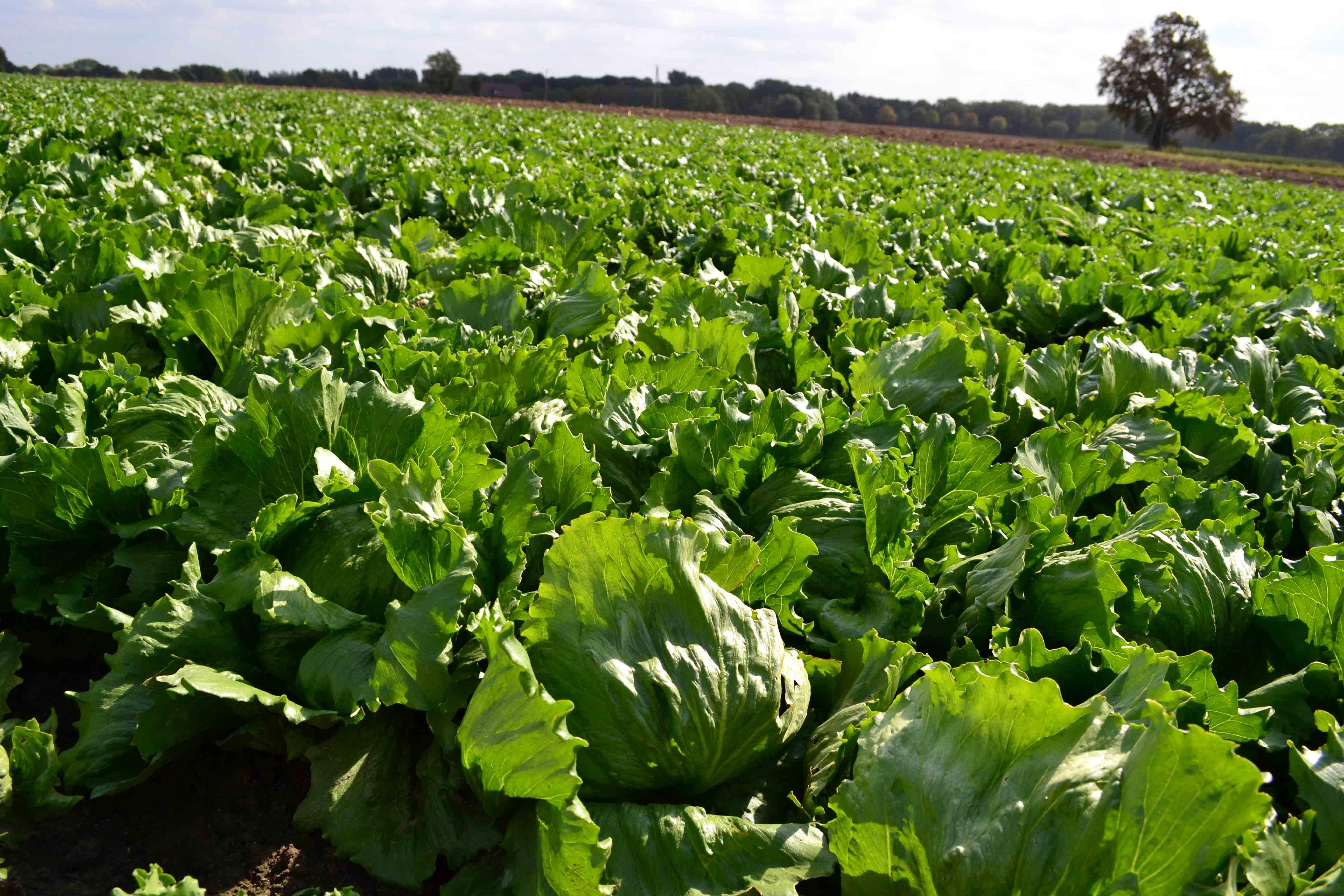 Bonduelle Salatfeld